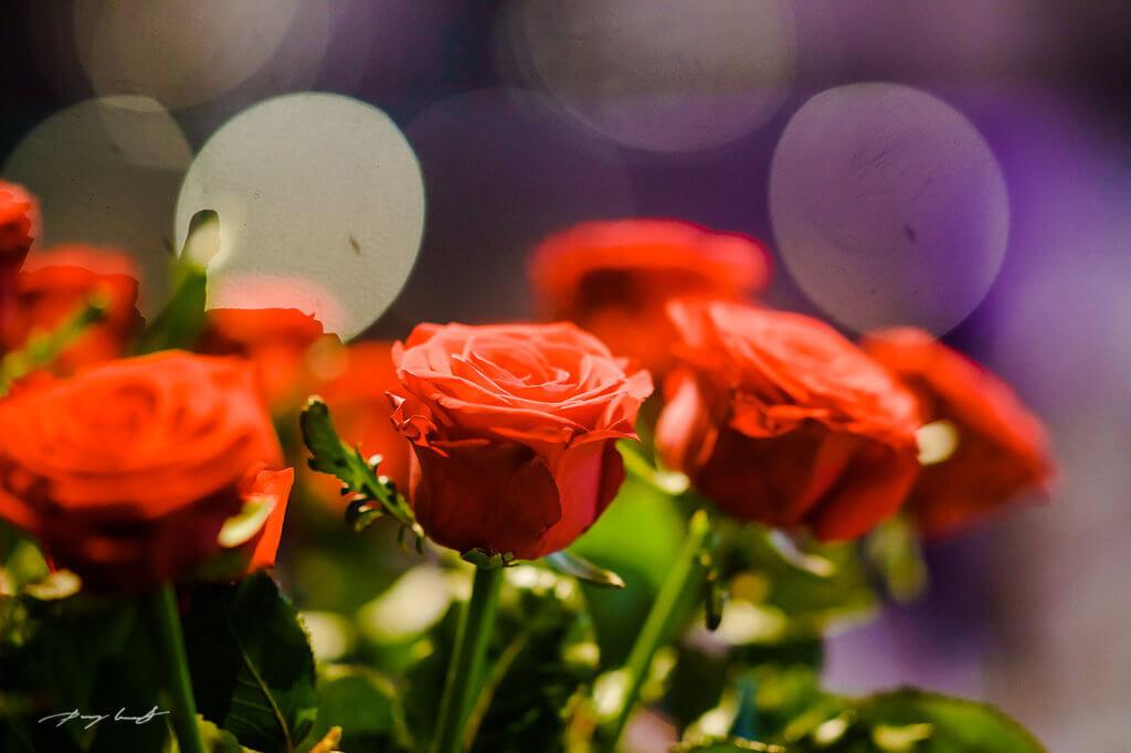 rosen fotografie hochzeit hochzeitsreportage schönster tag lüneburg