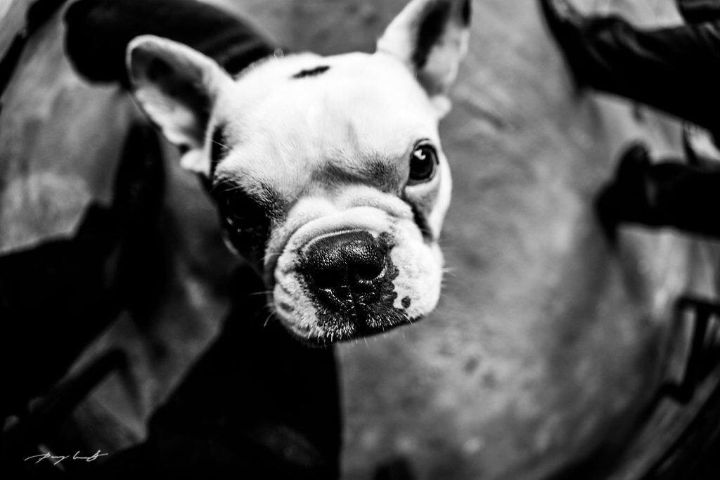 vierbeiniger gast hundenase zur hochzeit hochzeitsfotografie brautpaar gäste kleiner hund
